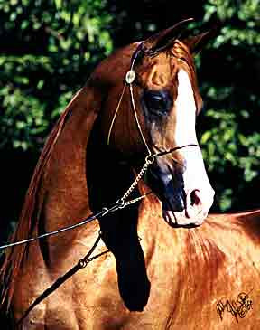 Aul Magic+/ Arabian sport horse champion